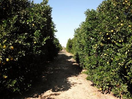Florida Oranges - Photo by Mmacbeth