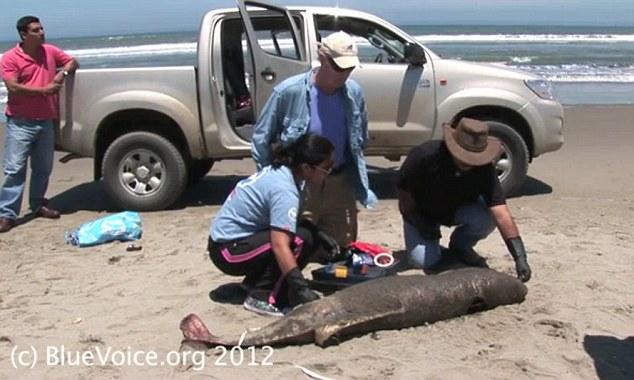 Em causa: Os conservacionistas no Peru contados 615 golfinhos mortos ao longo de um trecho de 90 quilômetros de praias na quarta-feira
