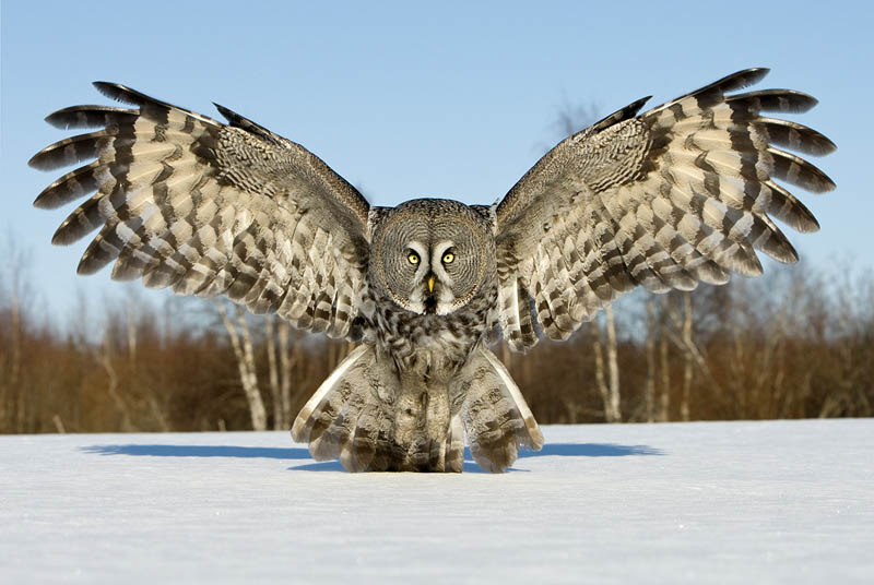 http://twistedsifter.com/2011/11/picture-of-the-day-the-great-grey-owl/