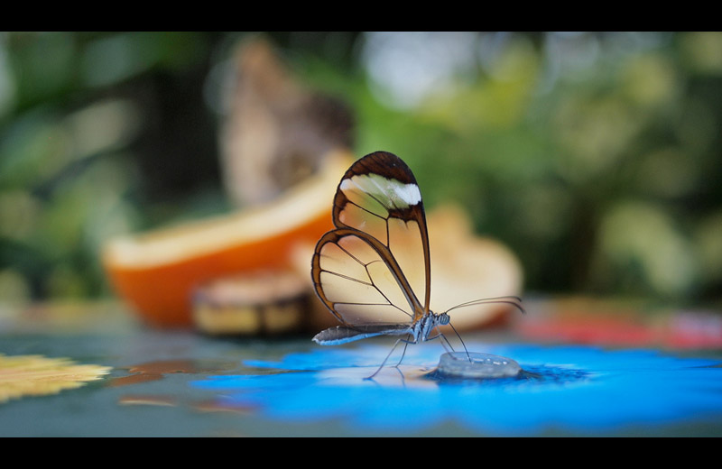 http://twistedsifter.com/2011/09/picture-of-the-day-the-stunning-glasswinged-butterfly/