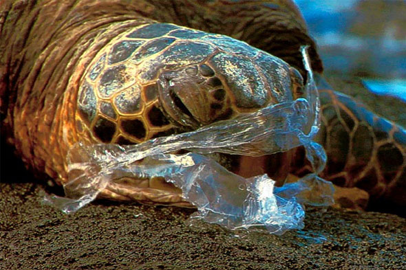 Turtle eats plastic